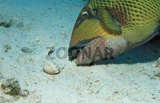 Grüner Riesendrückerfisch frisst Muschel