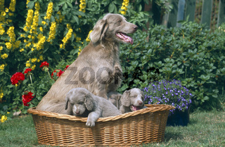 Long-haired Weimaraner / Langhaar-Weimaraner