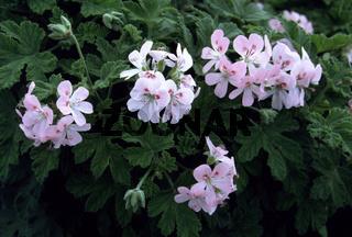 Geranien, Pelargonium, Geranium