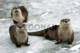 Drei Fischotter Three Otters