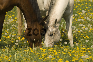 Brown and white pair of horses