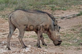 Warzenschwein, Südafrika