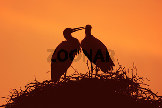 Weissstorch, Ciconia ciconia, White Stork