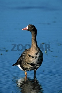 Blaessgans, anser albifrons, white fronted goose, europe, bird migration, vogelzug