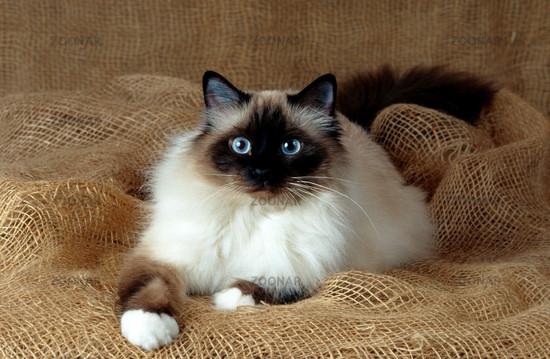 бирманская священная кошка фото цена