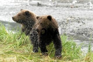 Kodiak Braunbaer, Kodiakbaer, Kodiak Bear, Ursus arctos, Alaska, USA