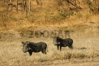 Warthogs in the bush