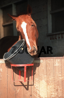 Zweibruecker Warmblut / Zweibrücker warmblooded Horse