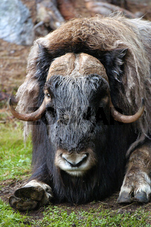 Moschusochse (Portrait) Musk Ox (Portrait)