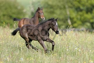 Deutsches Reitpony, German Riding Pony