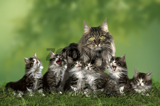 Norwegian Forest Cat / Norwegische Waldkatze