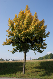 Tilia platyphyllos, Sommerlinde, lime tree