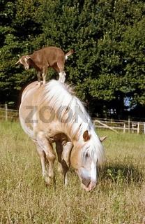 Tierfreundschaft, Ziege und Haflinger