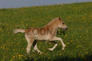 Haflinger Horse, Haflingerpferd, Haflingerpferde
