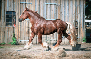 German 'Schleswiger' Heavy Horse (coldblooded)