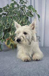 West Highland White Terrier / Westie