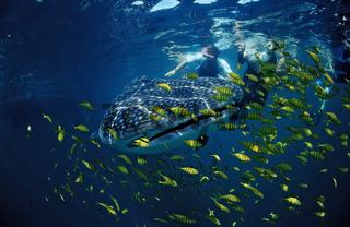 Walhai, Rhincodon thypus, Whale shark, Cortezsee, Mexiko