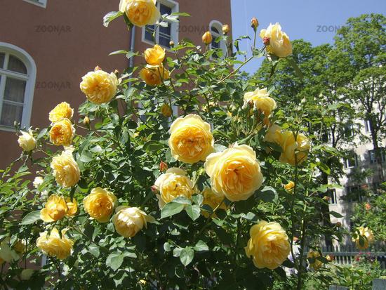 Photo rosa englische rose graham thomas image 85106 rosa englische rose graham thomas thecheapjerseys Images