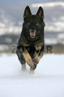 Deutscher Schaeferhund, German shepherd dog