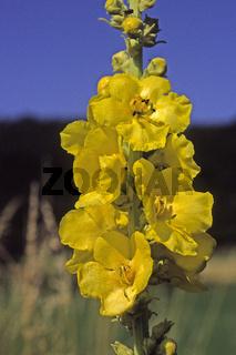 Verbascum densiflorum, Großblütige Königskerze