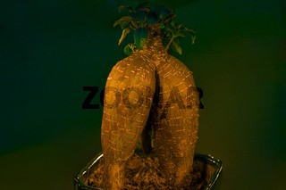 Ficus retusa.  Sexy Po? Gute Figur? Popobaum!
