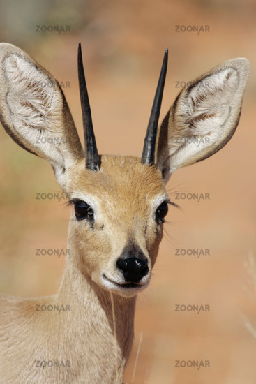Steenbok, Raphicerus campestris, Steinboeckchen, South-Africa, Suedafrika