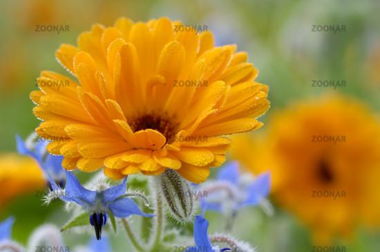 Garden Marigold | Gemeine Ringelblume