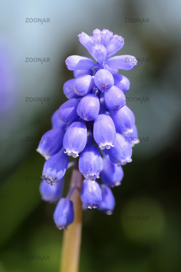 Blossom of the grape hyacinth