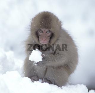 schneeaffe, rotgesichtsmakak, japanmakak, macaca fuscata, japanese macaque, snow monkey , japan, asien, asia