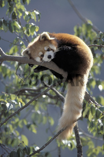 Katzenbaer, Kleiner Panda, Ailurus fulgens, Red Panda,  Panda centre, Wolong Valley, Wolong Tal, Himalaya, China.