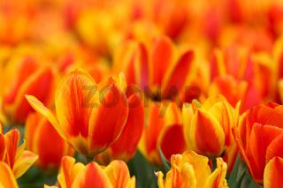 Tulpenmeer rot und gelb 3