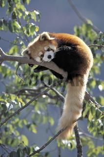 Red Panda, Roter Panda, Kleiner Panda, Ailurus fulgans, Panda centre, Wolong Valley, Wolong Tal, Himalaya, China, fulgens