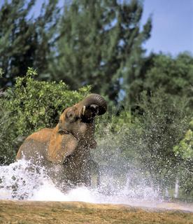 African Elephant, Zimbabwe