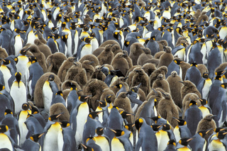 King penguin, Koenigspinguin, Aptenodytes patagonicus, Salisbury plain, South Georgia, Pinguinkolonie, colony, peng