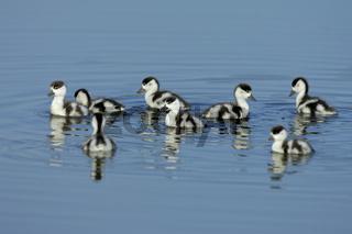 Brandgans-Kueken, Shelduck chicks