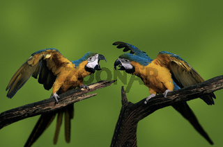 gelbbrustara, ara ararauna, blue-and-yellow macawgelbbrustara, ara ararauna, blue-and-yellow macaw