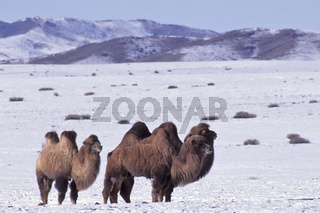 Two humped domestic Bactrian camel, Zweihoeckriges Hauskamel, Camelus ferus bactrianus, Altai Mountains, Mongolia, February, Altai Gebirge, Mongolei, Februar