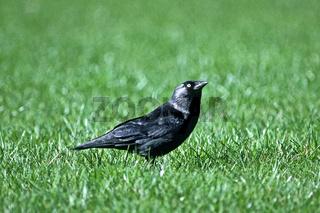 Dohle, Corvus monedula