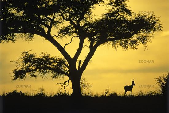 Springbok, Antidorcas marsupialis, Kalahari, Sued Afrika, South Africa