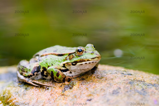 Green water frogs in the pond -