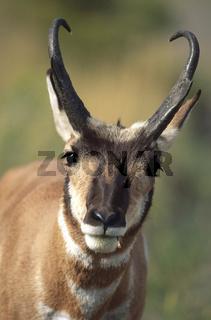 Gabelantilope, Gabelbock, Gabelhorntier, Gabelhornantilope, Antilocapra americana, Pronghorn