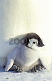 Emperor penguin, Kaiserpinguin,  Aptenodytes forsteri,