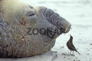 Southern elephant seal & Tussac bird,
