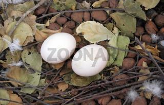 Pigeon Eggs | Tauben Eier Nest