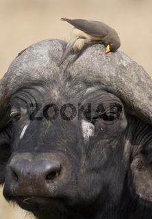 gelbschnabel-madenhacker, buphagus africanus, yellow-billed oxpecker