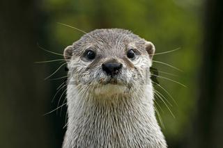 Zwergotter, Fingerotter (Aonyx cinerea), Asian Otter, Oriental Small-clawed Otter