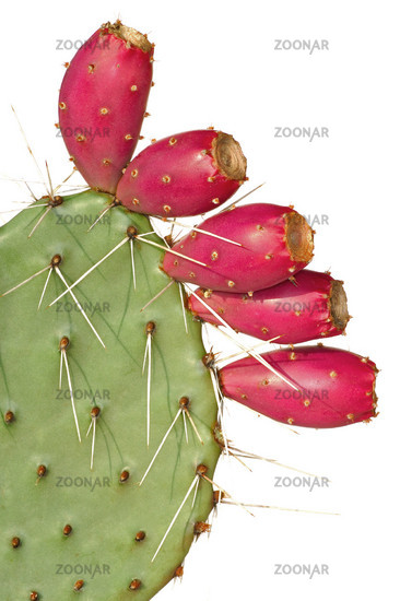 Opuntia with fruits