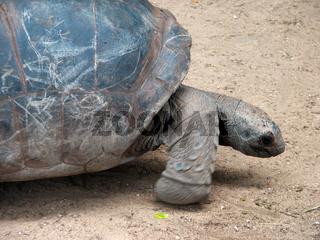 Riesenschildkröte - Giant tortoises