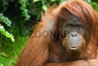 Sumatran Orangutan close up - Sumatra Orang Utan