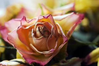 Alternde Rose